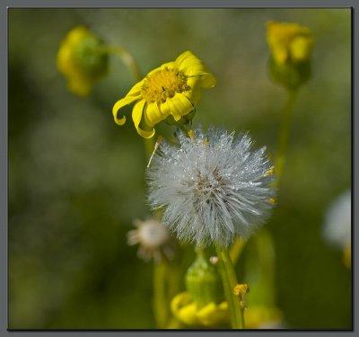 Yellow dew
