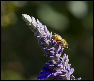 Bee my queen !