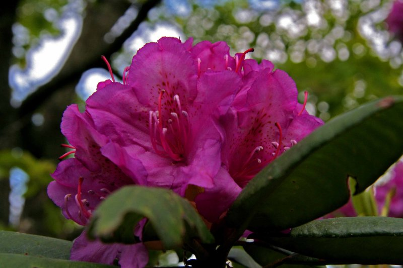 Rhododendron Bringing Colour To Our Lives.