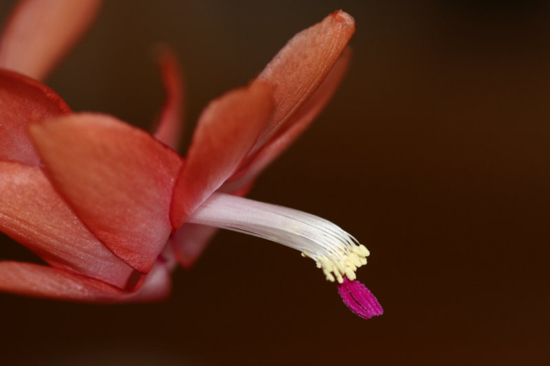 March 12, 2007<BR>Christmas Cactus