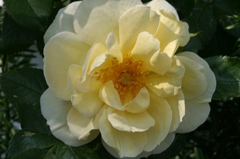 Yellow Rose<BR>June 8, 2007