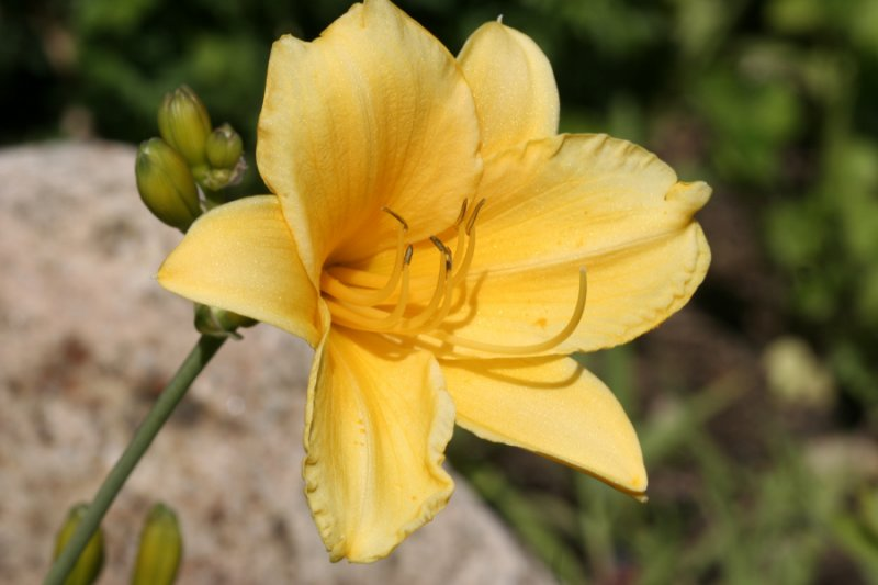 Day Lilly<BR>June 23, 2007