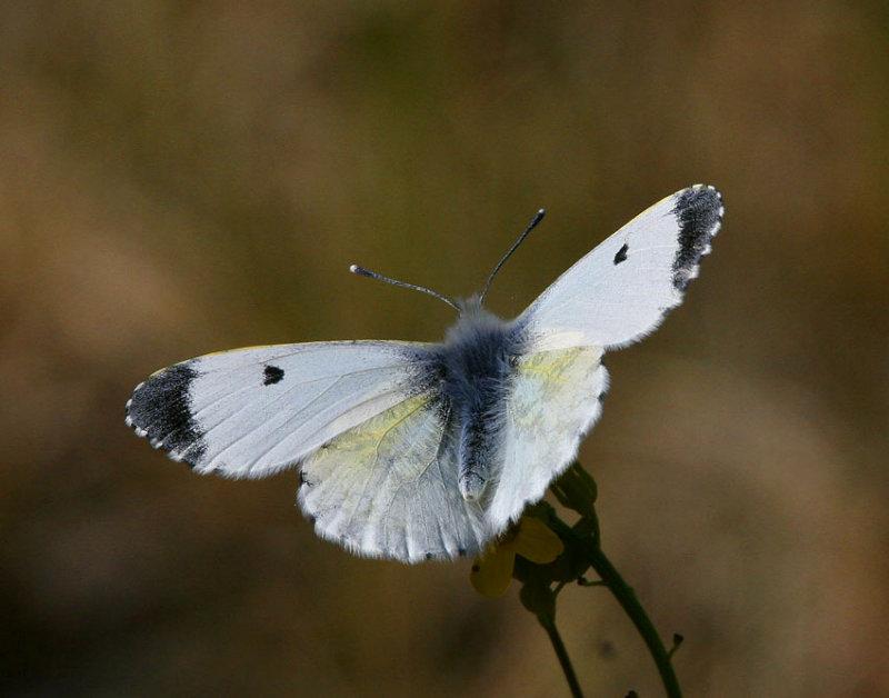 Aurorafjäril, hona (Anthocharis cardamines)