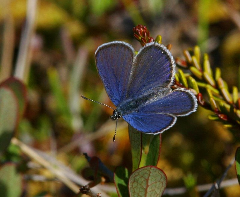 Violett blåvinge (Vaccinia optilete)