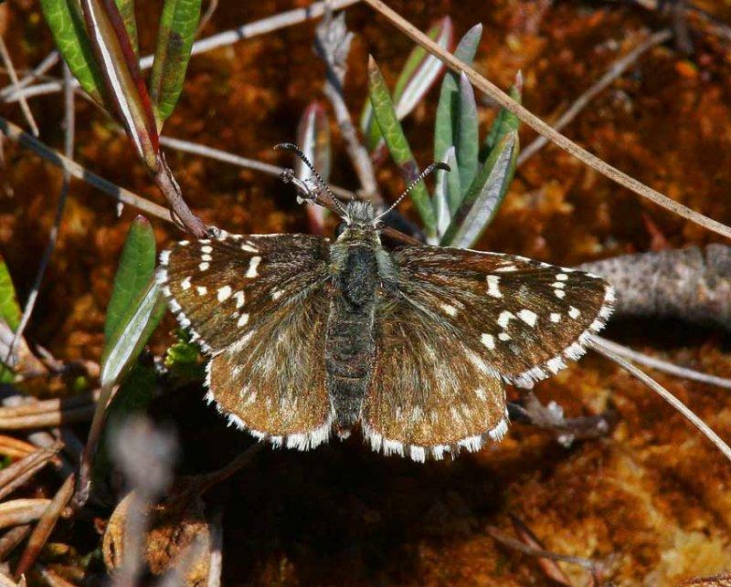 Myrvisslare (Pyrgus centaureae)