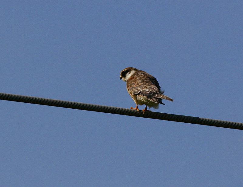 Red-footed Falcon (Falco vespertinus)