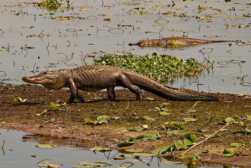 Aligator Strolling