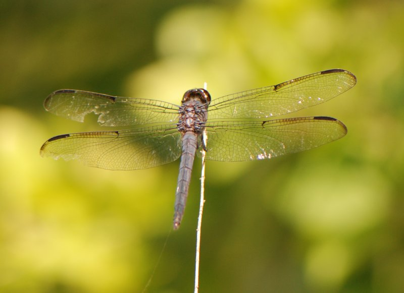 Dragonfly with Damaged Wing