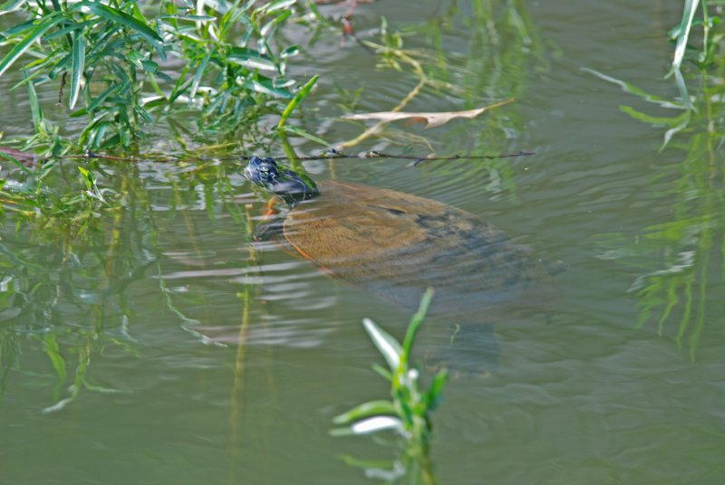 River Cooter (Pseudemys Concinna)