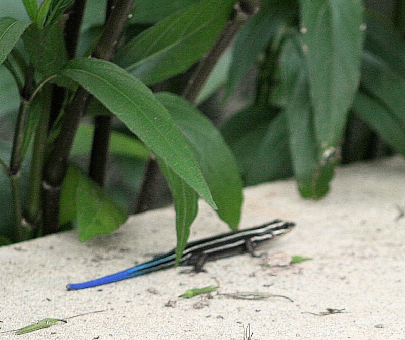 bluetailed skink