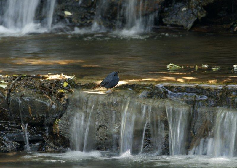 Plumbeous Water Redstart in its natural habitat