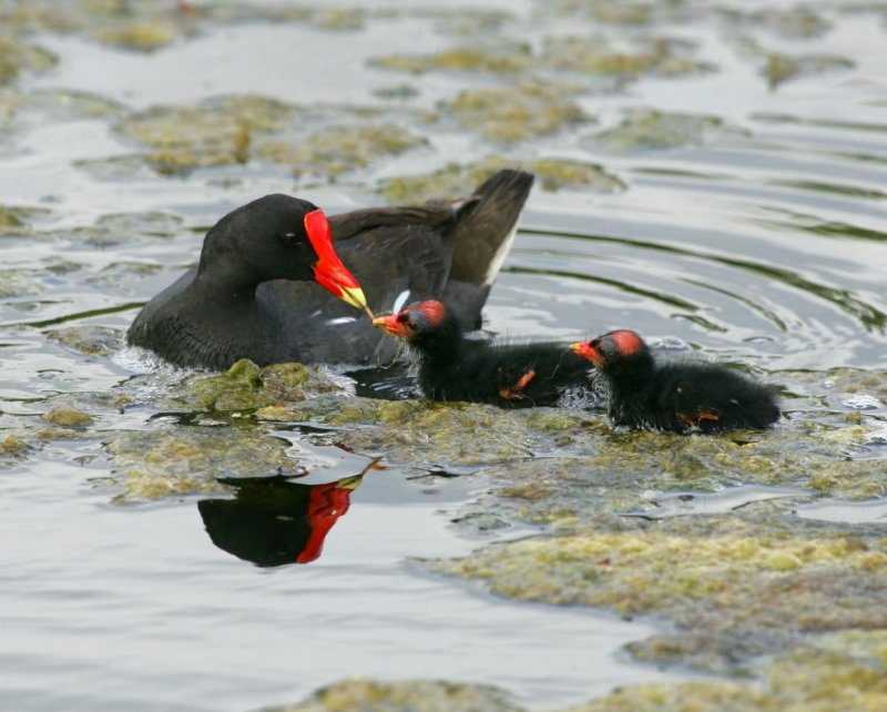 Common Moorhen with chicks - HJ2K6319