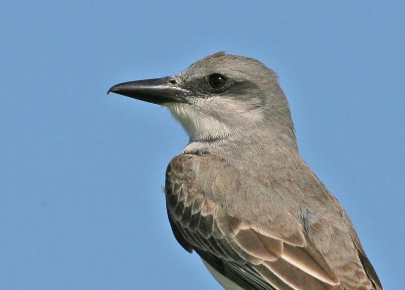 Gray Kingbird, 05-03- 2077
