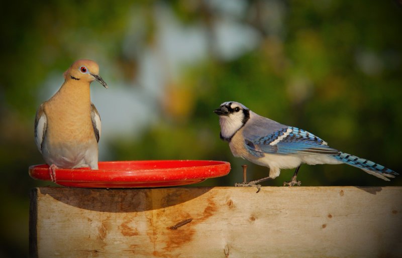 The Dove and the Jay - Birds of Florida