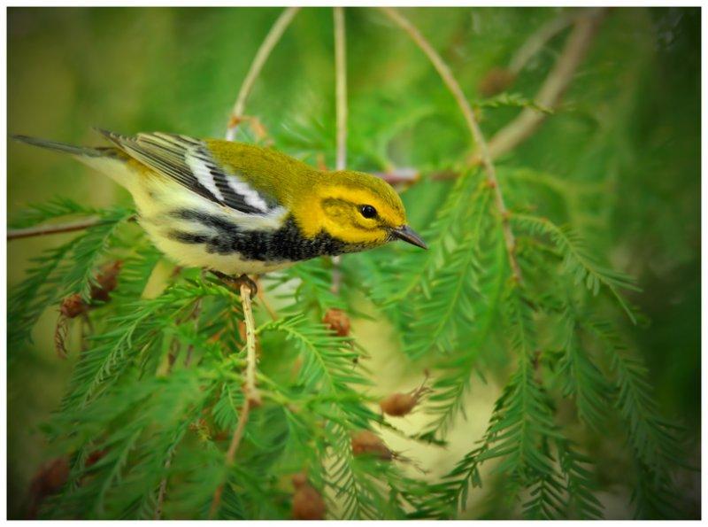 Black-throated Green Warbler - Birds of Florida