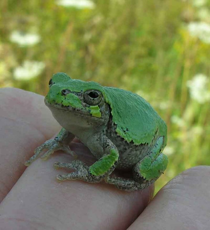 Hyla versicolor on hand