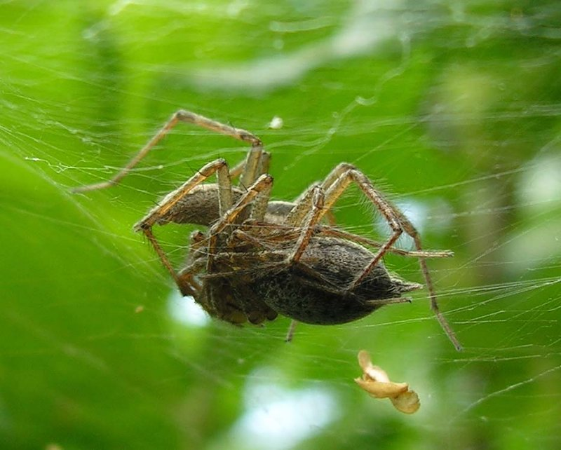 funnel web spiders - mating - 2