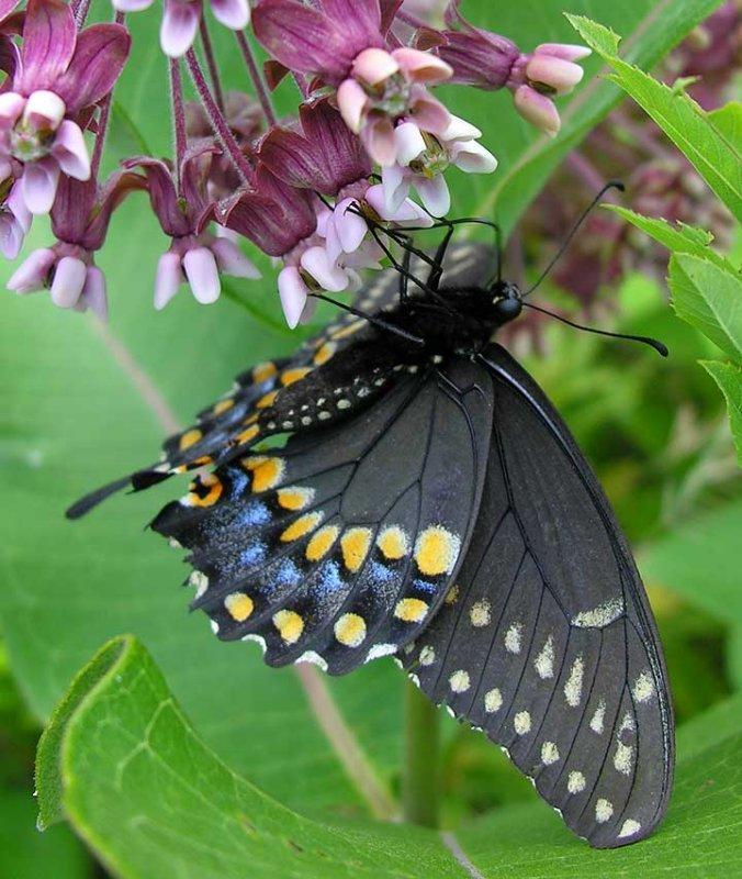 Papilio polyxenes asterius - Black Swallowtail feeding on milkweed flower