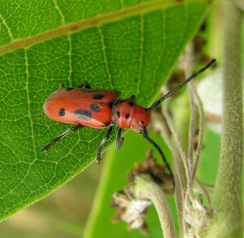 longhorn-milkweed-beetle.jpg