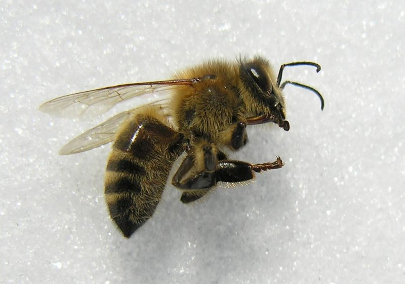 Chilled Honey Bee