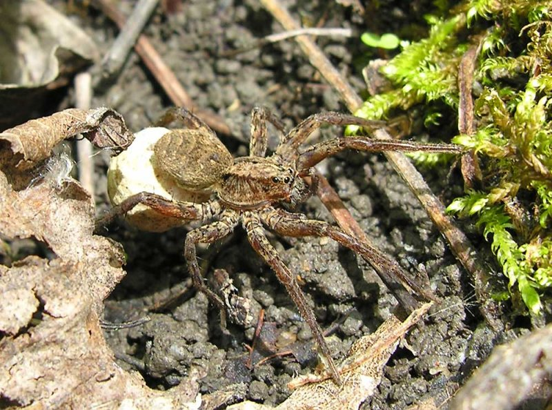 Wolf spider with egg case - view 1