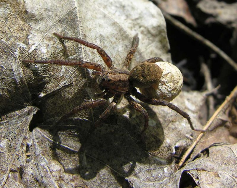Wolf spider with egg case - view 3