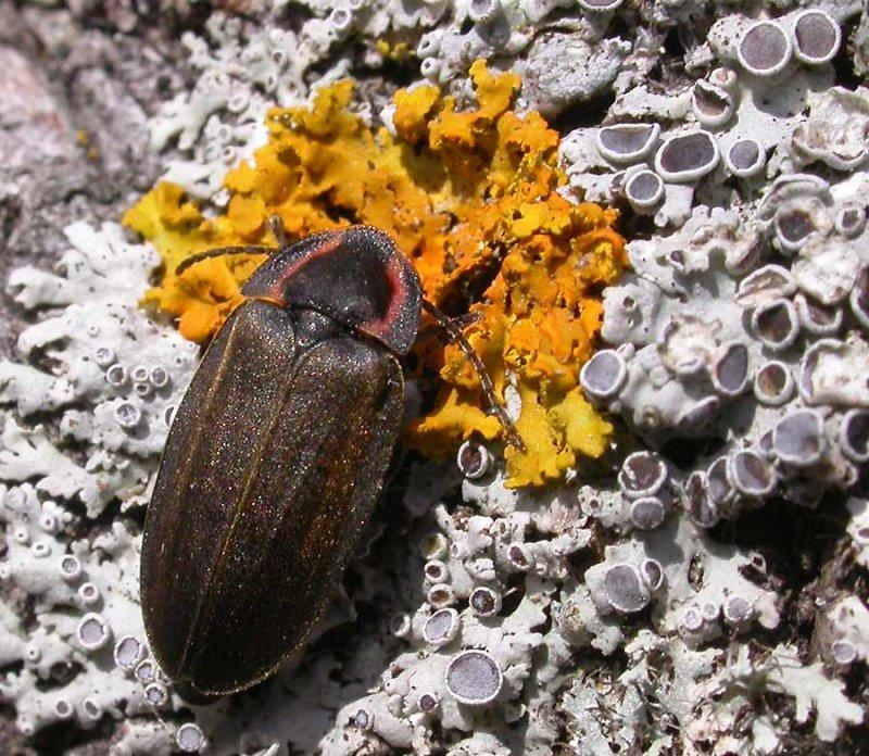 Ellychnia corrusca - Diurnal Firefly - on Xanthoria lichen