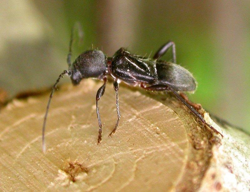 Cyrtophorus verrucosus - view 1