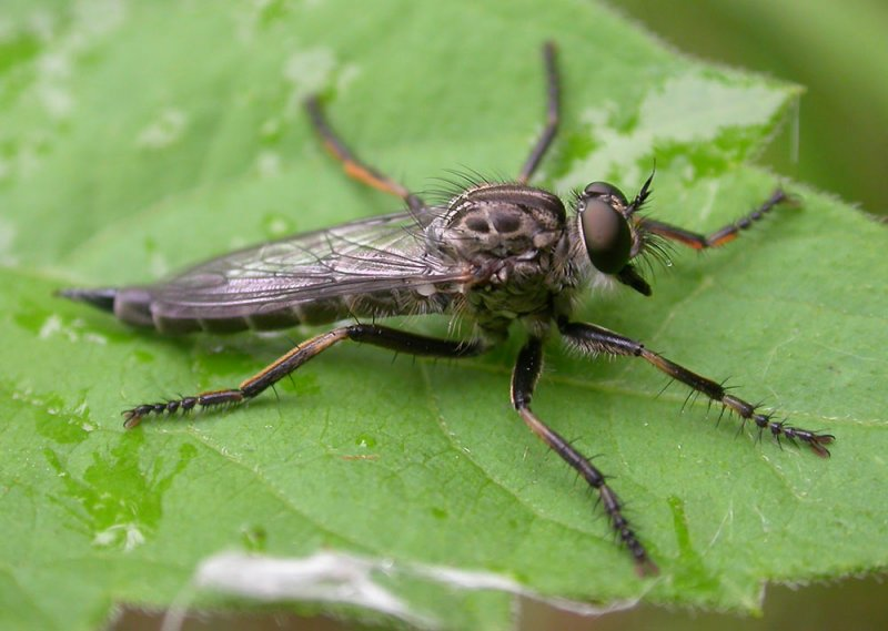 Machimus sp.  - robber fly - view 1