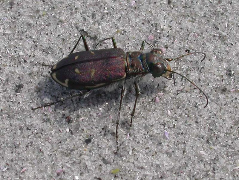 Cicindela hirticollis rhodensis - Tiger Beetle