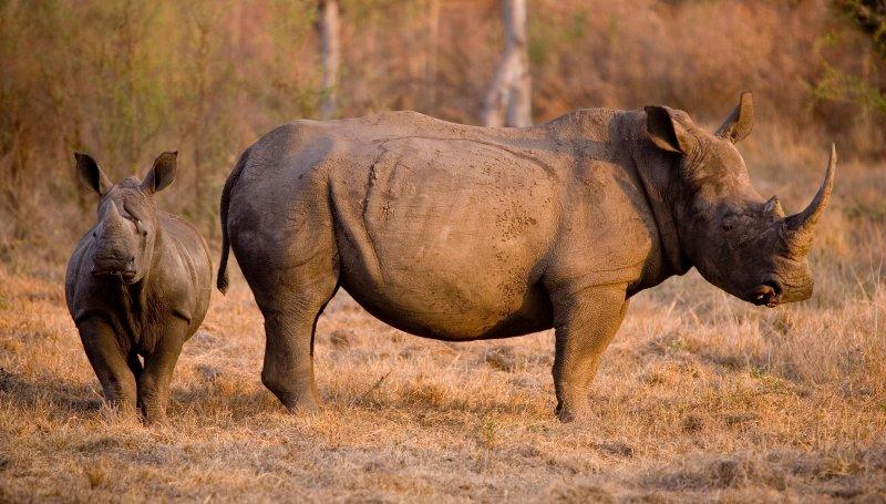 White Rhino 3
