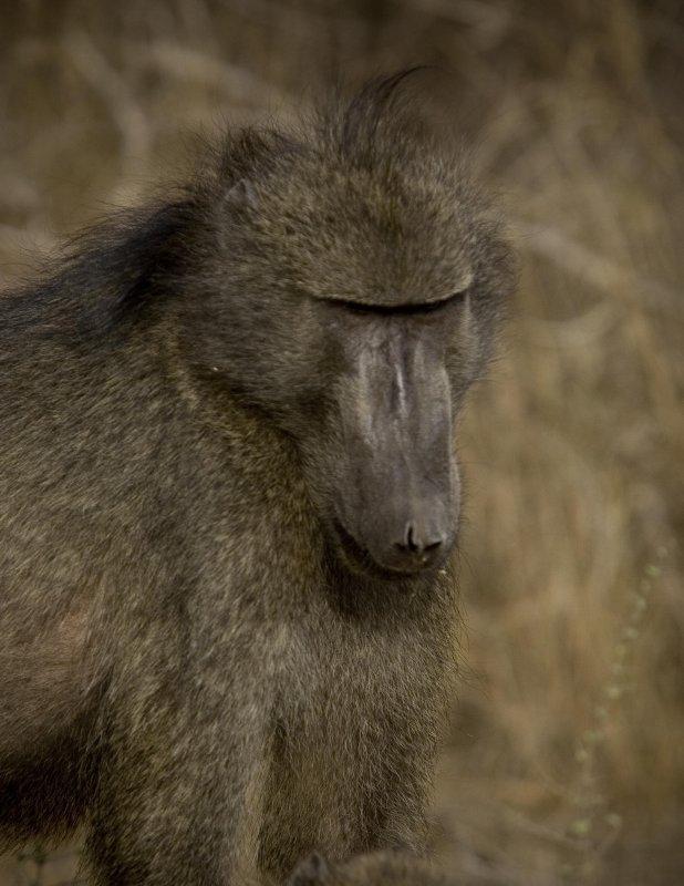 Baboon 6, Kruger NP
