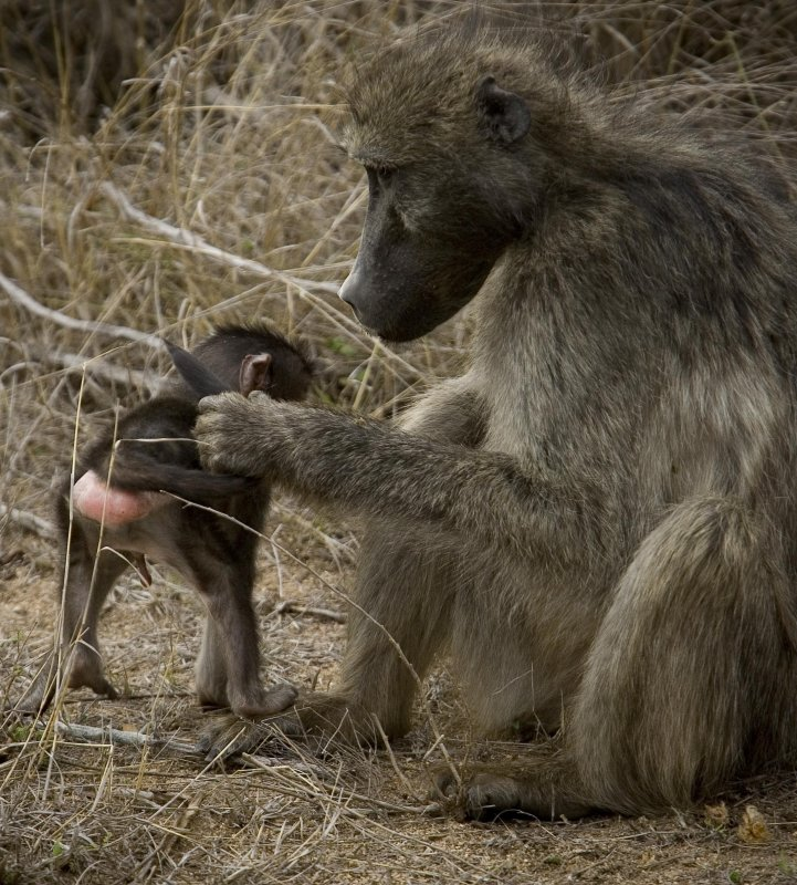 Baboon 9, Kruger NP