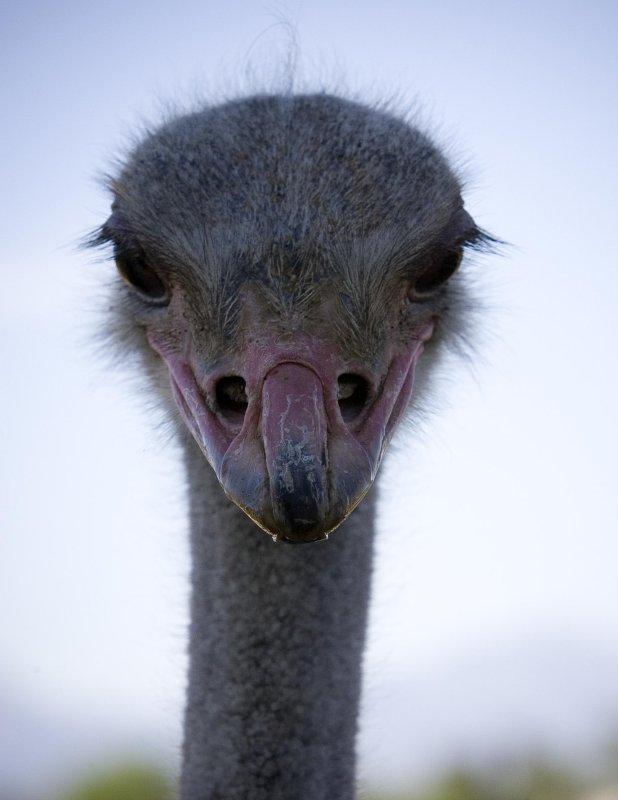 Ostrich Glare, South Africa