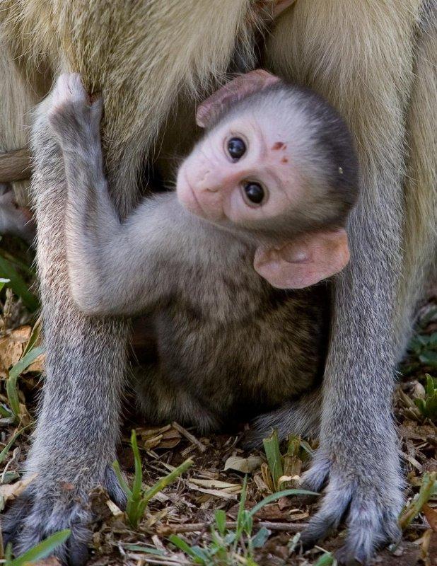 Vervet Monkey 3, Zambia