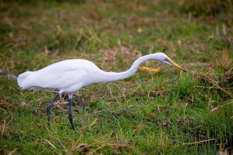 Chobe NP, Great White Egret