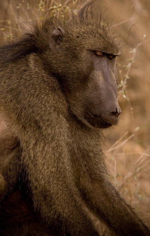 Baboon 7, Kruger NP