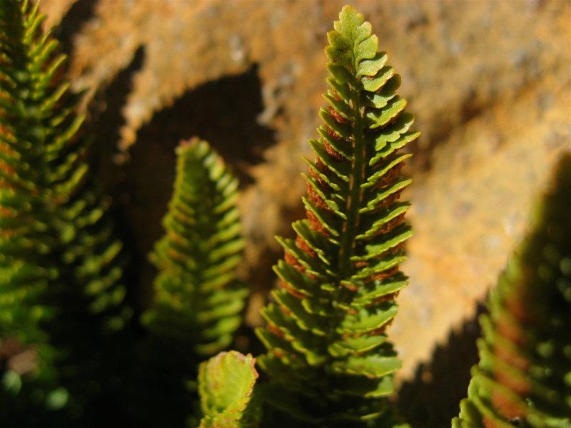 Shasta Fern
