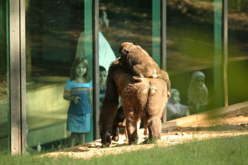 Gorillas & Humans