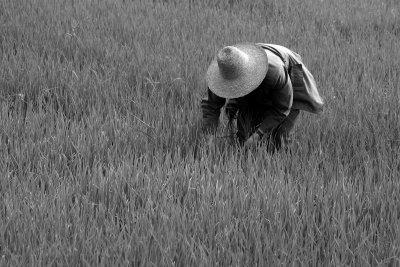 Rice, Yunnan