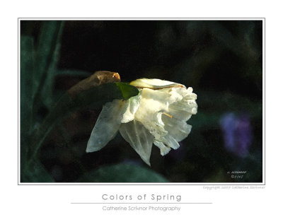 The last daffodil
