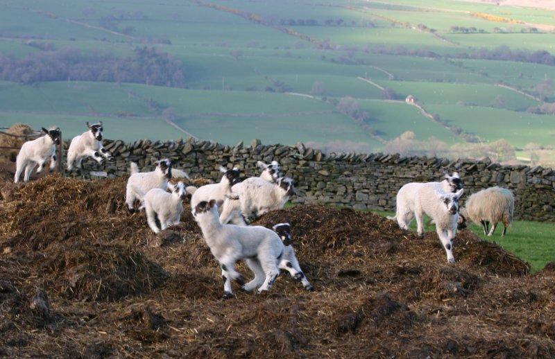 happy as a lamb in...