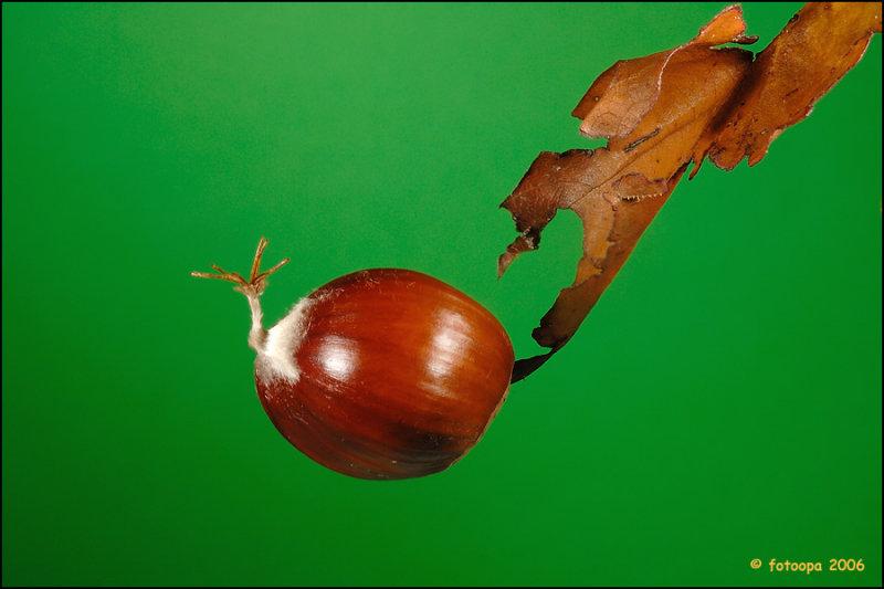 Chestnut 8561
