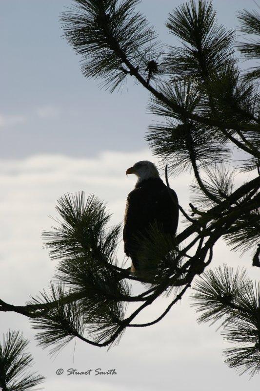 Bald Eagle 7190 Silhouette