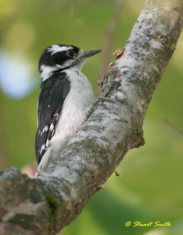 Downy Woodpecker 20070728 0810