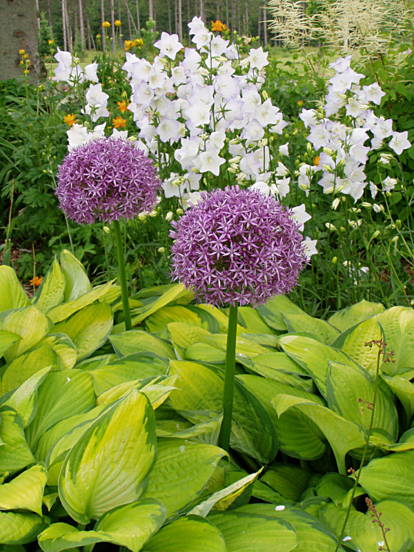 Alliums & Hosta