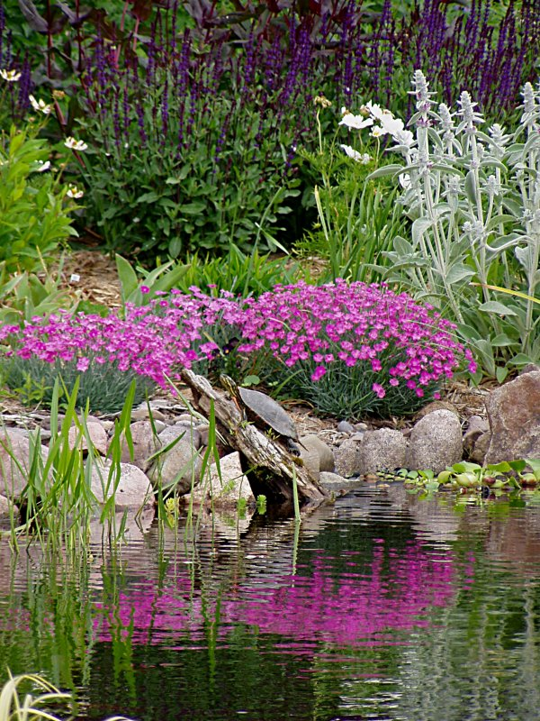 Dianthus reflecting in pond