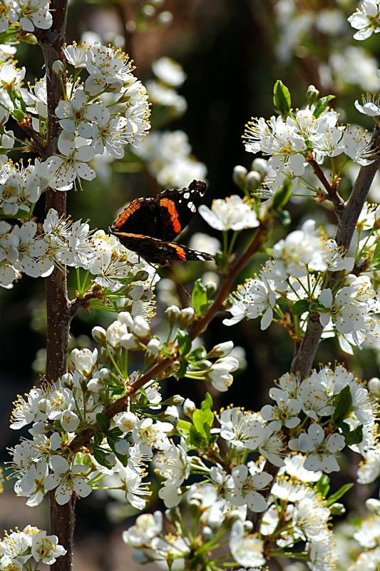 Plum Tree with butterfly