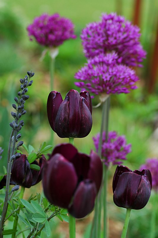 Tulips & Alliums