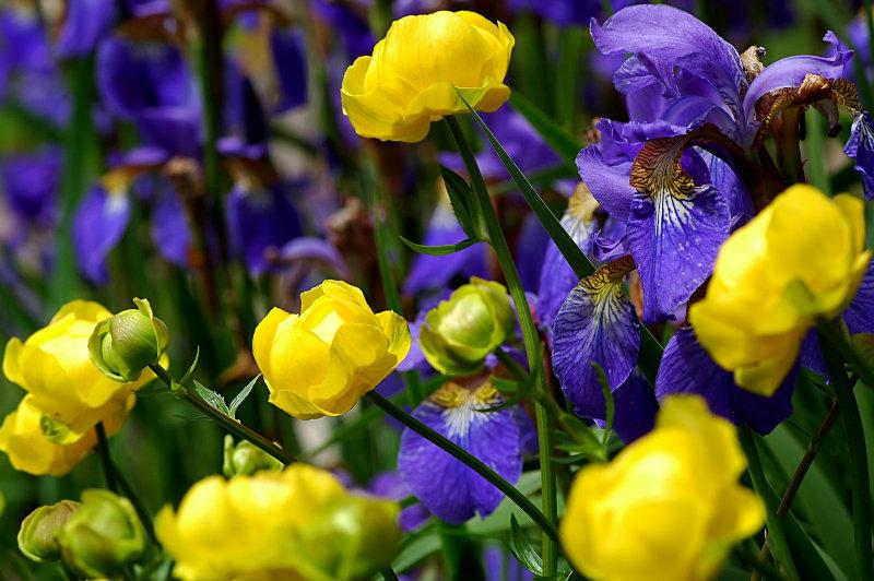 Iris sibirica & Trollius